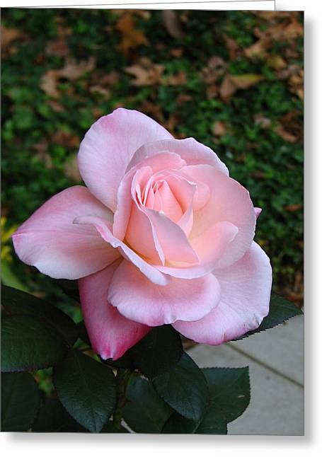Greeting Card featuring the photograph Pink Rose by Carla Parris