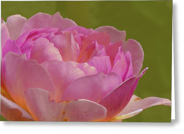 Pink Rose #d3 Greeting Card