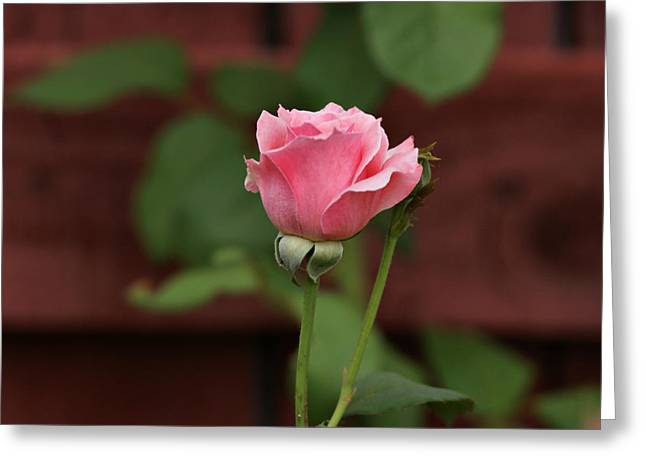 Pink Rose In The Garden Greeting Card by Sandy Keeton