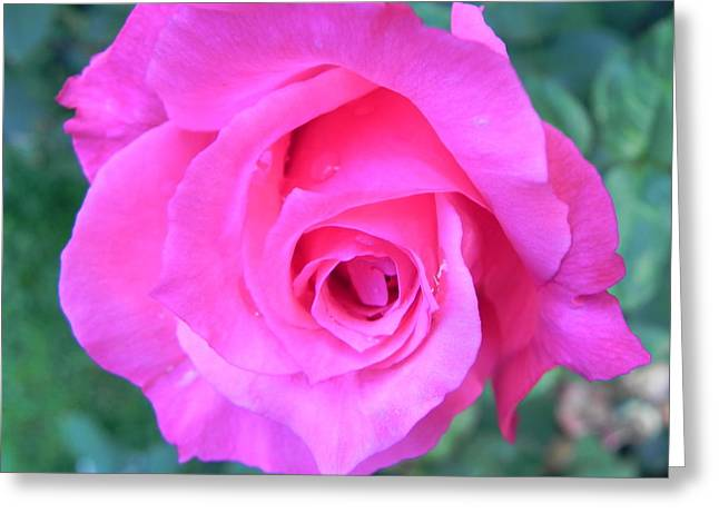 Pink Rose Greeting Card by John Parry