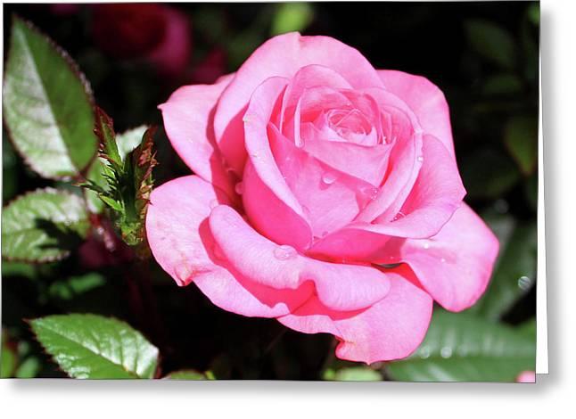 Pink Rose Greeting Card by Ronda Ryan