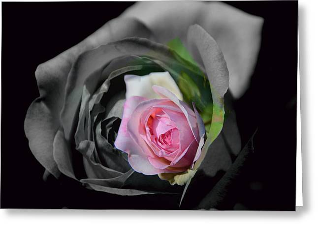 Pink Rose Shades Of Grey Greeting Card