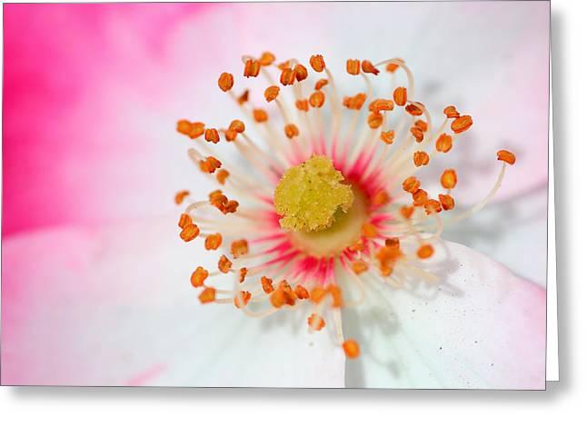 Pink Rose Greeting Card by Svetlana Ledneva-Schukina