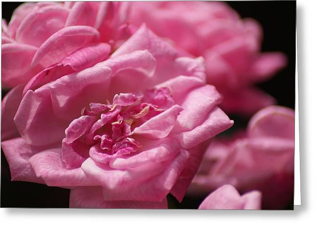 Pink Roses Greeting Card by Heather Green