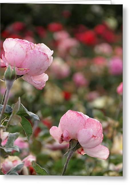 Greeting Card featuring the photograph Pink Roses by Laurel Powell