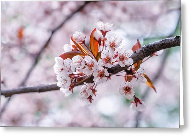 Greeting Card featuring the photograph Pink Sakura Cherry Blossom by Alexander Senin