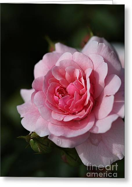 Pink Shades Of Rose Greeting Card
