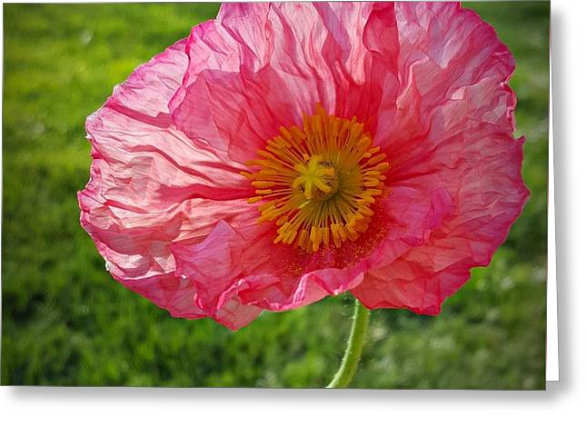 Pink Sunlit Poppy  Greeting Card by Chalet Roome-Rigdon