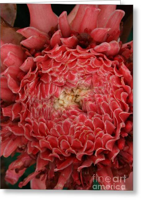 Pink Torch Ginger 1 Greeting Card