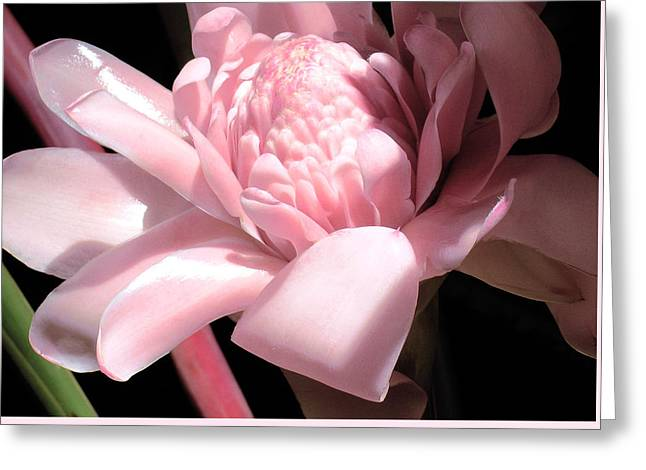 Pink Torch Ginger Greeting Card by James Temple