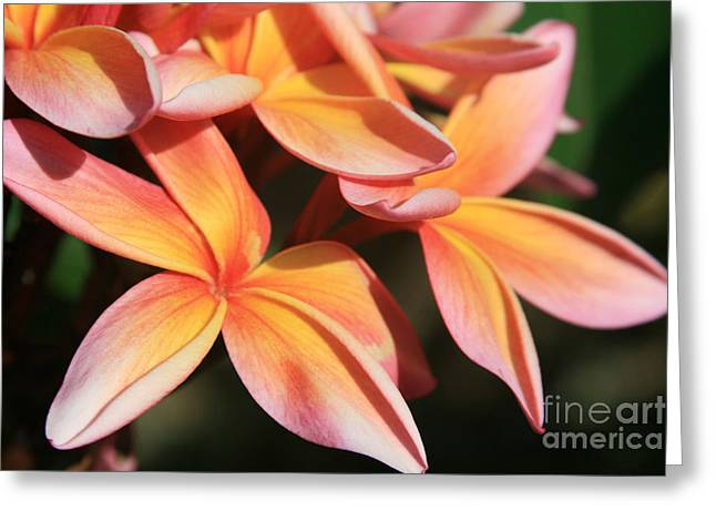Pink Tropical Plumeria Makawao Maui Hawaii Greeting Card
