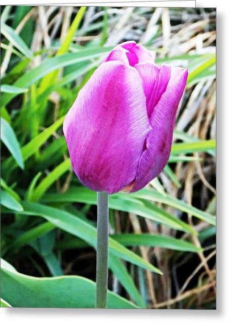 Pink Tulip  Greeting Card by Lisa Mesmer