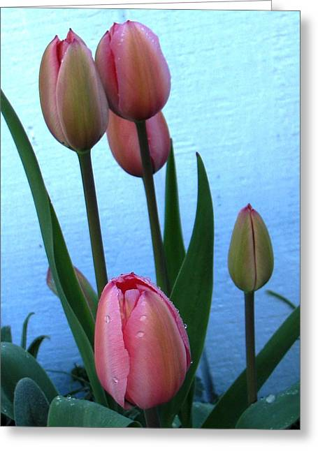 Pink Tulips 2012 Greeting Card