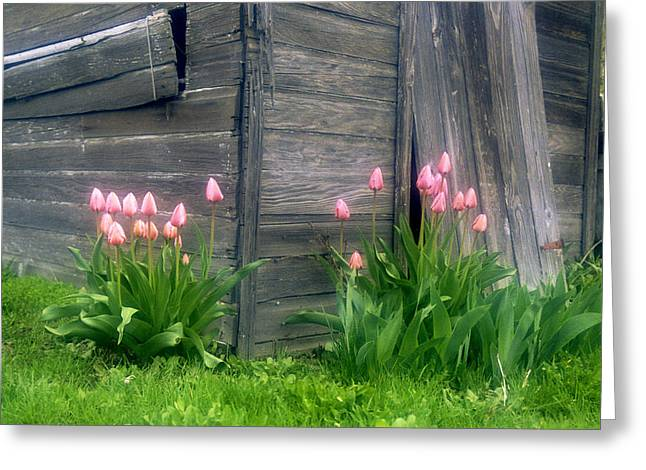 Pink Tulips And Weathered Shed Greeting Card