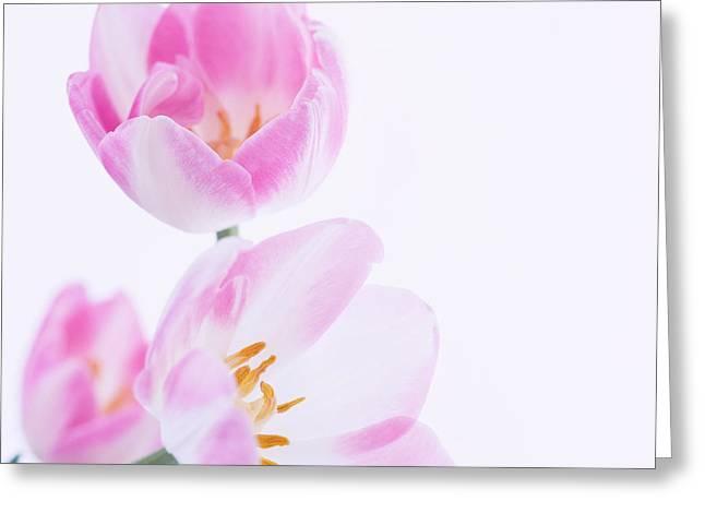 Pink Tulips Greeting Card by Hideaki Sakurai