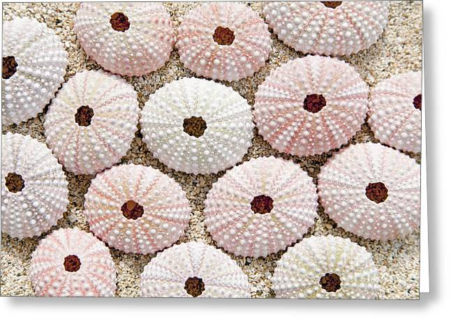 Pink Urchin Shells Greeting Card