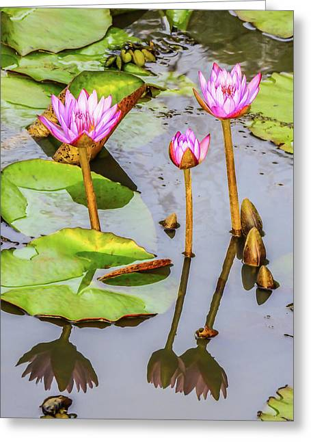 Pink Water Lilies In A Pond Greeting Card