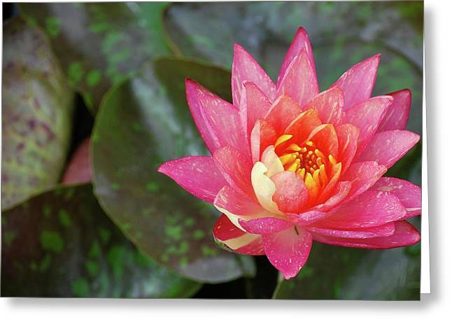 Greeting Card featuring the photograph Pink Water Lily Beauty by Amee Cave