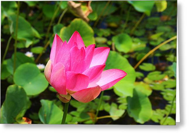 Pink Water Lotus Greeting Card by Michael Palmer