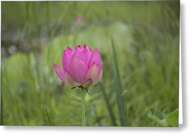 Pink Waterlily Bud Greeting Card by Linda Geiger