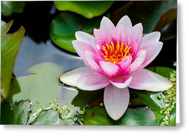 Pink Waterlily Greeting Card by Daniel Precht