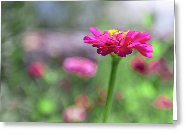 Pink Zinnia Greeting Card
