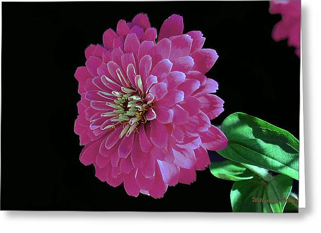 Pink Zinnia Greeting Card by William Lallemand
