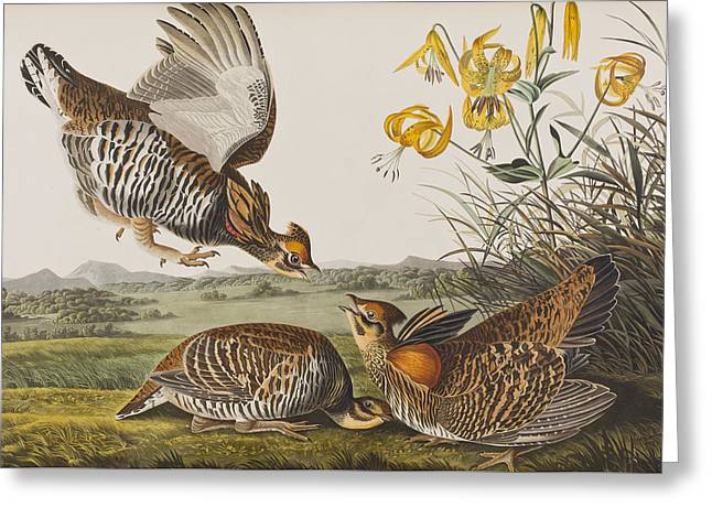 Pinnated Grouse Greeting Card by John James Audubon