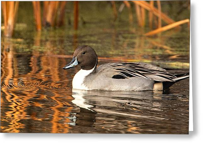 Greeting Card featuring the photograph Pintail by Kelly Marquardt