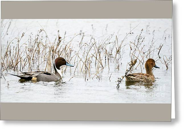 Pintail Pair Greeting Card by Mike Dawson