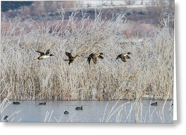 Pintails Along The Provo River Greeting Card by TL Mair