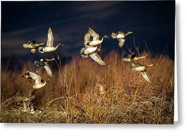 Pintails And Wigeons Greeting Card
