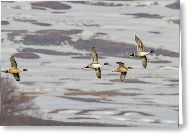 Pintails - Courtship Flight Greeting Card by TL Mair