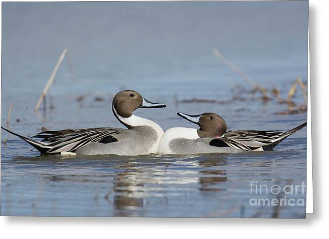 Pintails Greeting Card