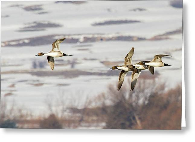 Pintails In Flight Greeting Card by TL Mair