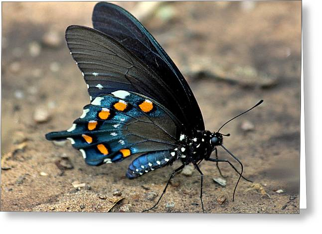 Pipevine Swallowtail Close-up Greeting Card