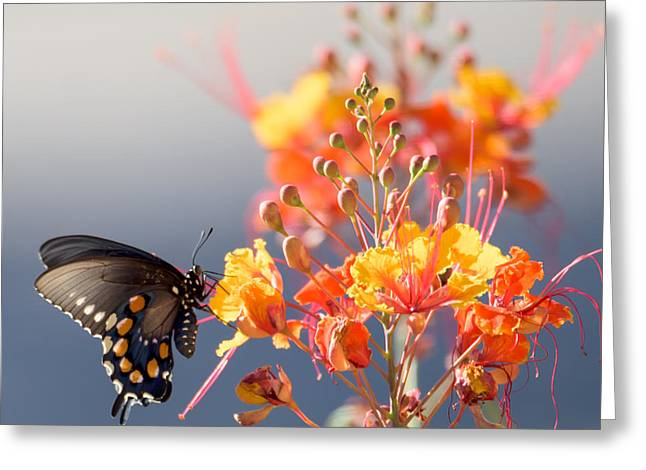 Greeting Card featuring the photograph Pipevine Swallowtail by Dan McManus