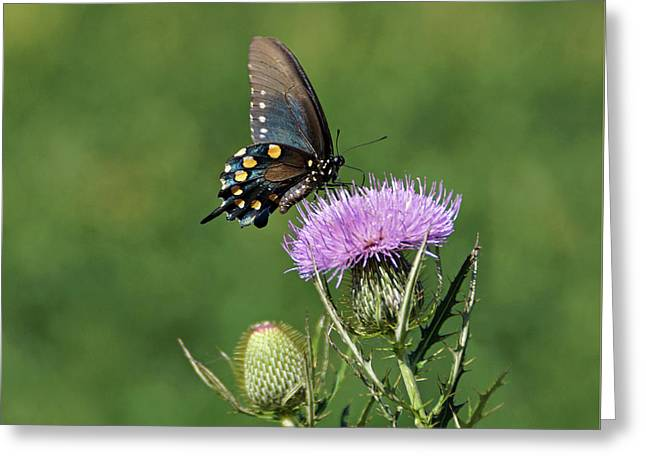 Greeting Card featuring the photograph Pipevine Swallowtail by Sandy Keeton
