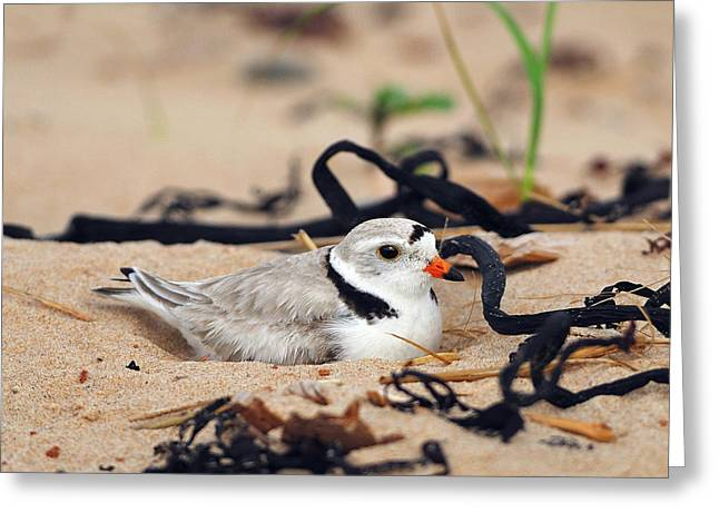Piping Plover Greeting Card by Tony Beck