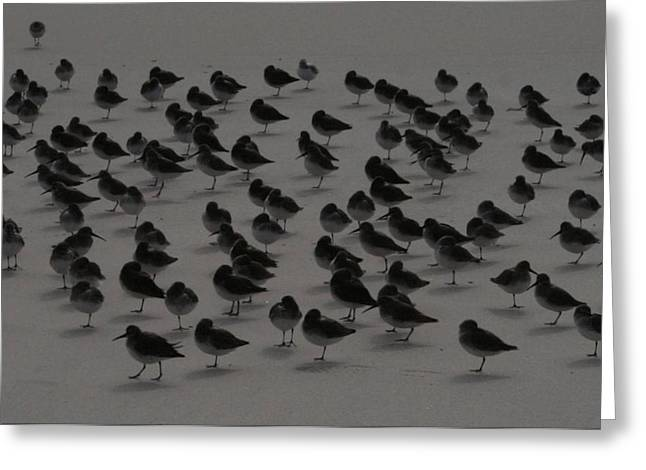 Piping Plovers Congregation Greeting Card by Christopher Kirby