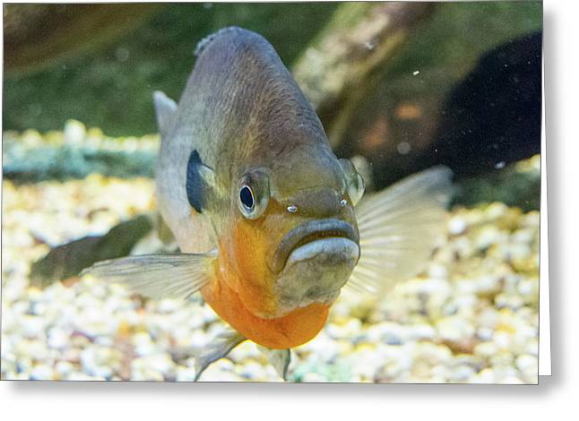 Piranha Behind Glass Greeting Card