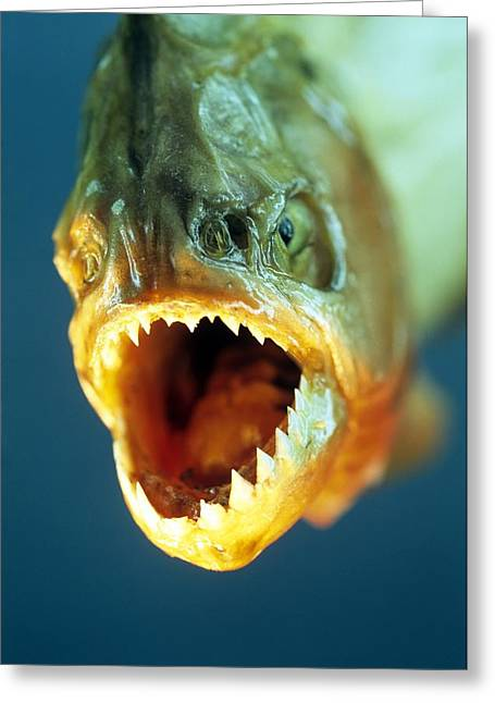 Piranha's Mouth Greeting Card by David Aubrey