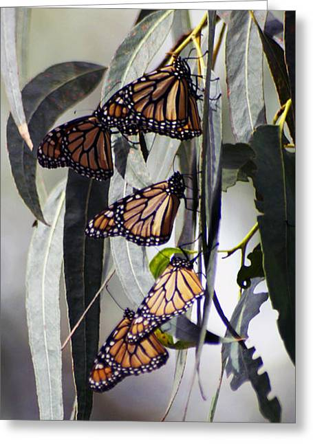 Greeting Card featuring the photograph Pismo Butterflies by Gary Brandes