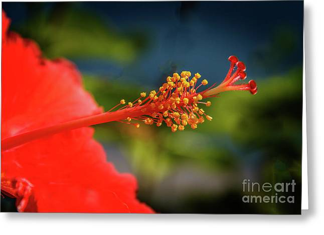 Greeting Card featuring the photograph Pistil Of Hibiscus by Robert Bales