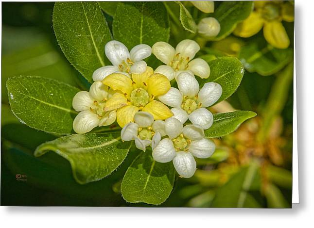 Pittosporum Flowers Greeting Card