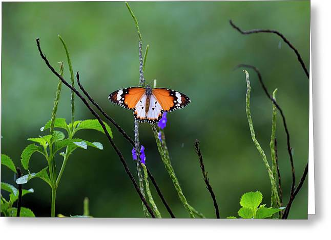 Plain Tiger Butterfly Greeting Card by David Gn