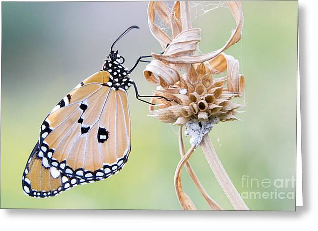 Plain Tiger Butterfly Resting Greeting Card