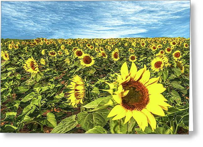 Plains Sunflowers Greeting Card