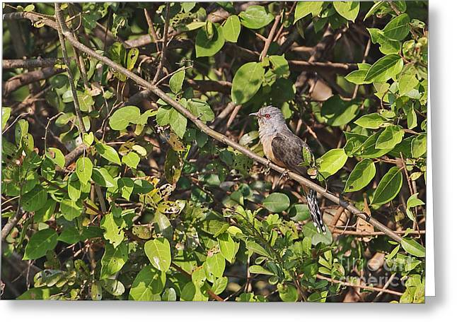 Plaintive Cuckoo Greeting Card by Neil Bowman/FLPA