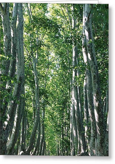 Plane Trees In A Forest, Provence Greeting Card